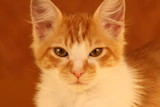 djuke,cat,kitten,cute,tabby,orange,precious,animal poster
