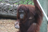 orangutan,orang,primate,ape,chimpanzee,mammal,anim poster