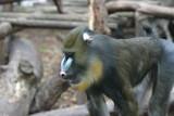 mandrill,primate,ape,chimpanzee,mammal,animal,natu poster
