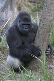 gorilla,silverback,primate,ape,mammal,animal,natur poster