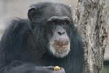 chimp,primate,ape,chimpanzee,mammal,animal,nature, poster