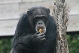chimpanzee,chimp,primate,ape,mammal,animal,nature, poster