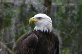 bald eagle,eagle,bird,animal,fauna,lowrey park,zoo poster