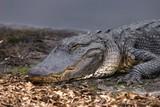 alligator,gator,gators,paynes orairie,gainesville, poster