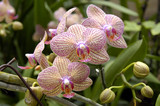 a cluster of orchids poster
