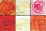 rosenblüten poster