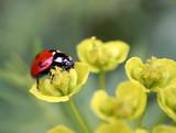 ladybug on flowers poster