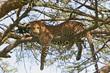 Leinwandbild Motiv leopard sucht entspannung auf baum