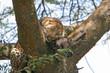Leinwanddruck Bild leopard mit beute im baum