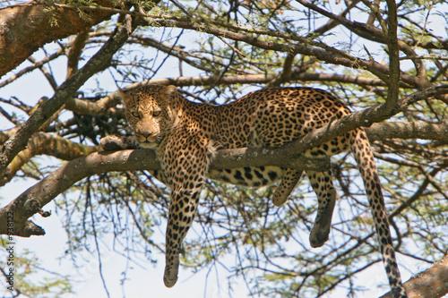 Leinwanddruck Bild leopard sucht entspannung auf baum