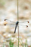 resting dragonfly #3 poster