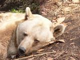 bear resting poster