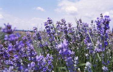 bush of lavender