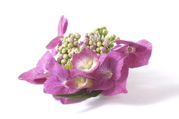 bouquet. hydrangea
