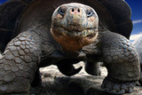 galapagos giant turtle poster