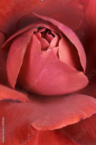 Fototapeta rote rose 02