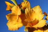 nice yellow gladiolus poster