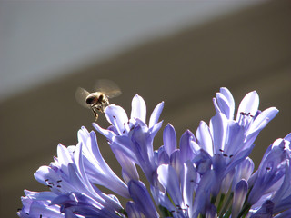 agapanthus and honeybee