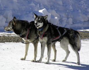lead dogs