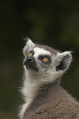 watchful ring-tailed lemur