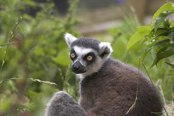 gazing lemur