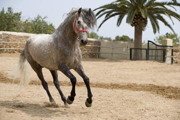 caballo6667