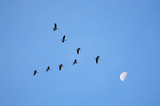 canadian geese migrating poster
