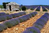 Fototapety champ de lavande en fleur