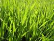 shining green grass