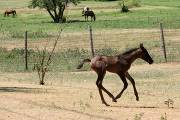 foal/colt running in field