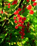red,ruby like currants poster