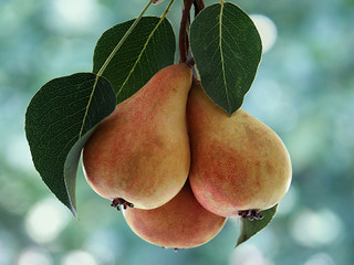 pears on the bough