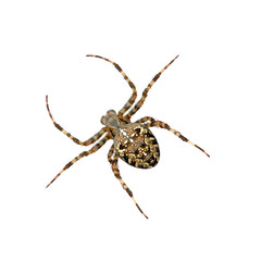 cross spider:2