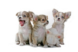 chihuahua puppies poster