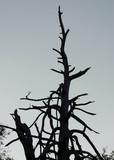 dead treetop poster