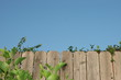 wooden fence with green shrubs and blue sky