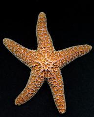 starfish front