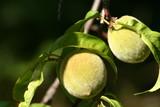 unripe peaches poster