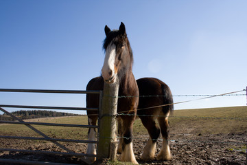 two shire horses