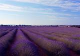 Fototapety champs de lavandes