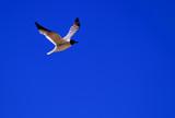 gull / tern in flight poster