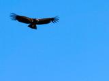 condor in flight poster