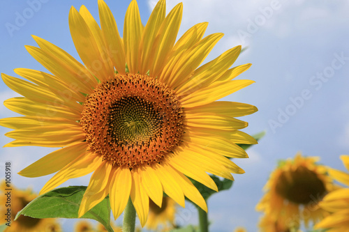 canvas print picture fleurs de tournesol