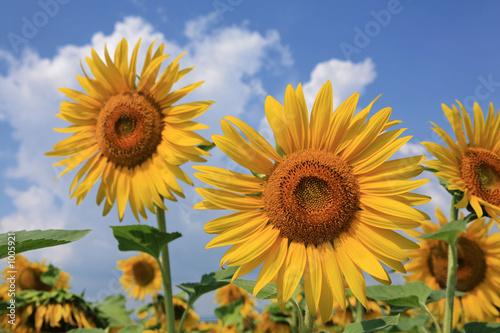 Leinwanddruck Bild fleurs de tournesol