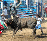 bull upending a rider