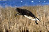 flying goose poster