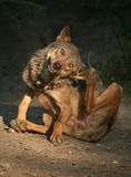 iberischer wolf poster