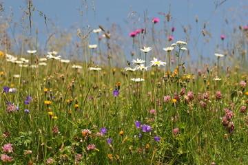 traumhaft schöne alpenblumenwiese