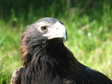 wedge tailed eagle poster