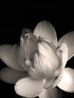 Fototapete Blume - Schwarz - Wasserpflanze
